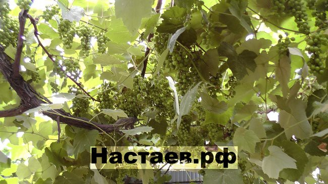 Мой виноград